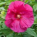 Hibiscus Jazzberry Jam