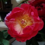 Paeonia Coral Charm
