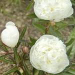 Paeonia Duchesse de Nemour