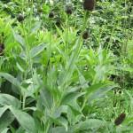 Rudbeckia Black Beauty