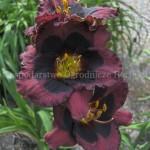 Hemerocallis Crimson Pirate