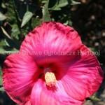 Hibiscus Satelite
