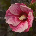 Hibiscus Small Wonder